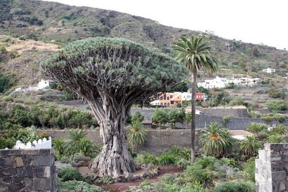 Tenerife, dragon tree